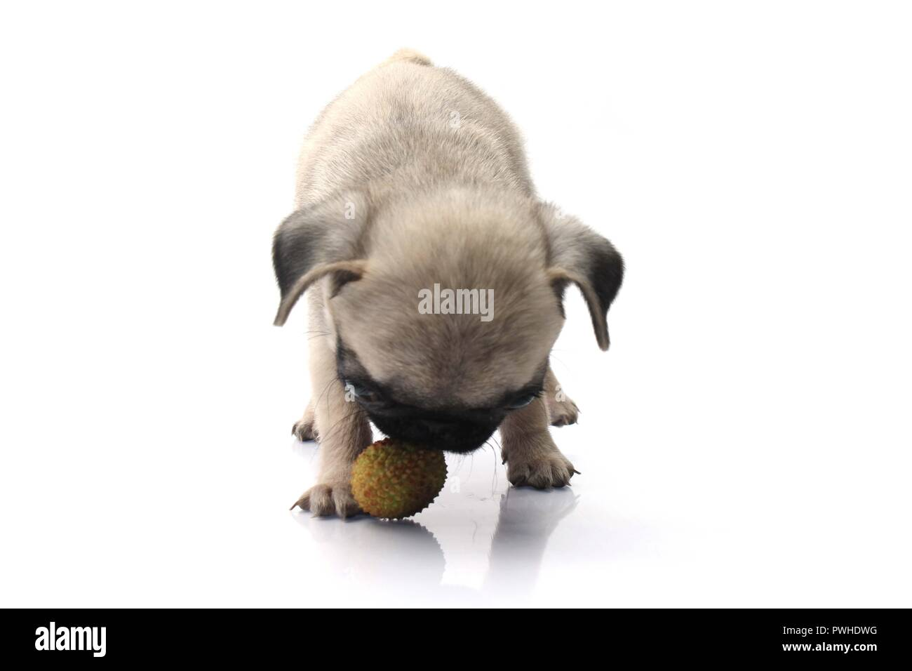 Cute Pug Dog Plays With Ball Isolated On White Background. - Stock Image