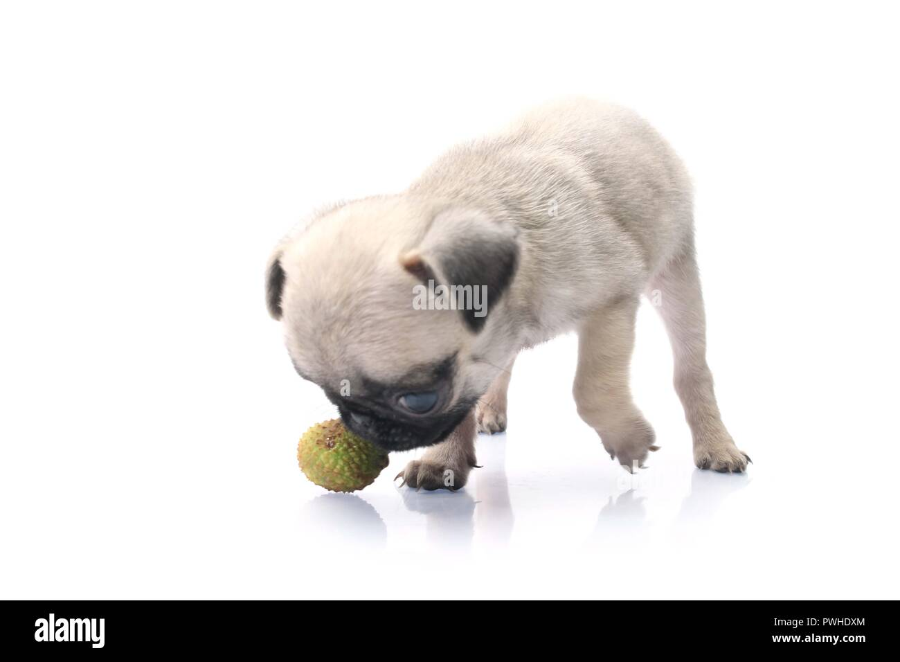 Side Pose Of Cute Pug Dog With Ball. Isolated On White Background. - Stock Image