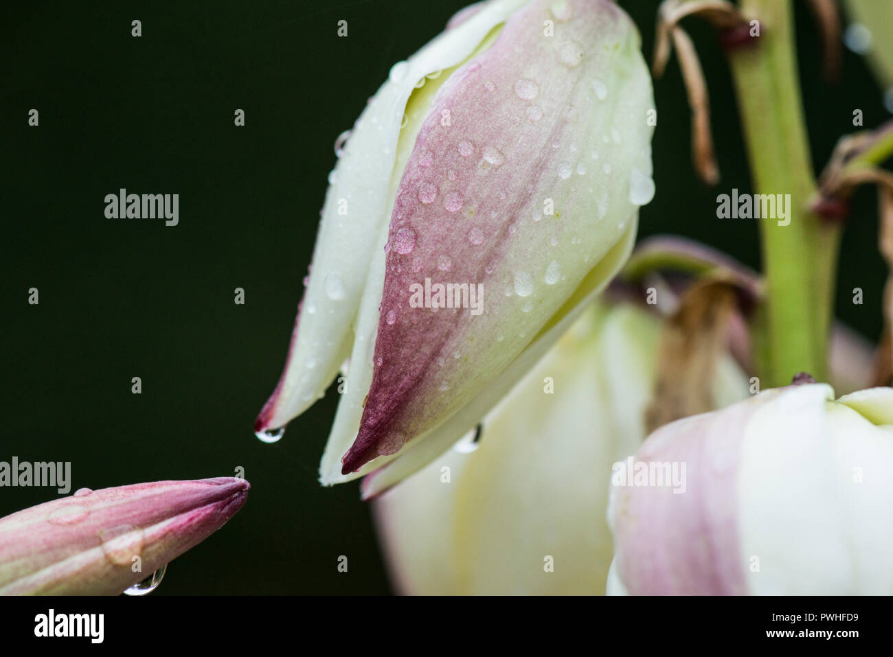 Raindrops on the flowers of a Spanish dagger (Yucca gloriosa) - Stock Image
