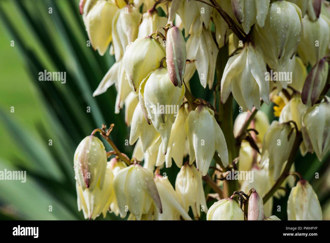 Rain drops on the flowers of a Spanish dagger (Yucca gloriosa) - Stock Image
