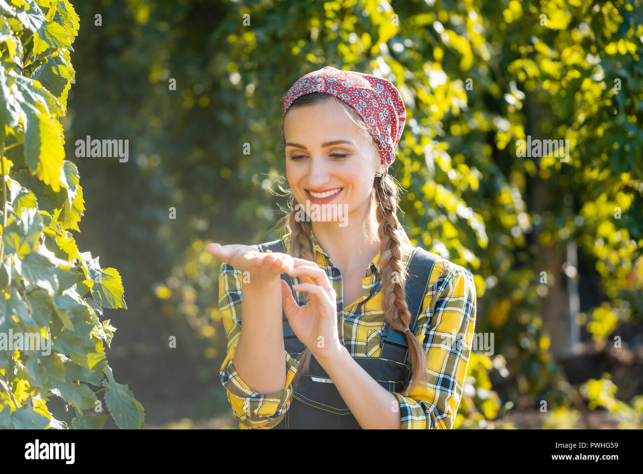 Farmer woman checking the quality of this years hops harvest - Stock Image