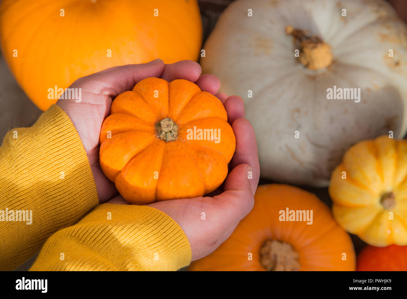 A pair of humna hands holding a tiny pumpkin called a munchkin over a selection of different winter squash and gourds - Stock Image