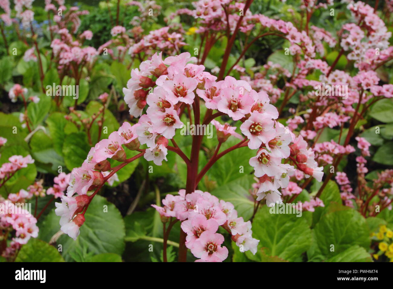Bergenia Wintermarchen Elephants Ears Plant Wintermarchen In