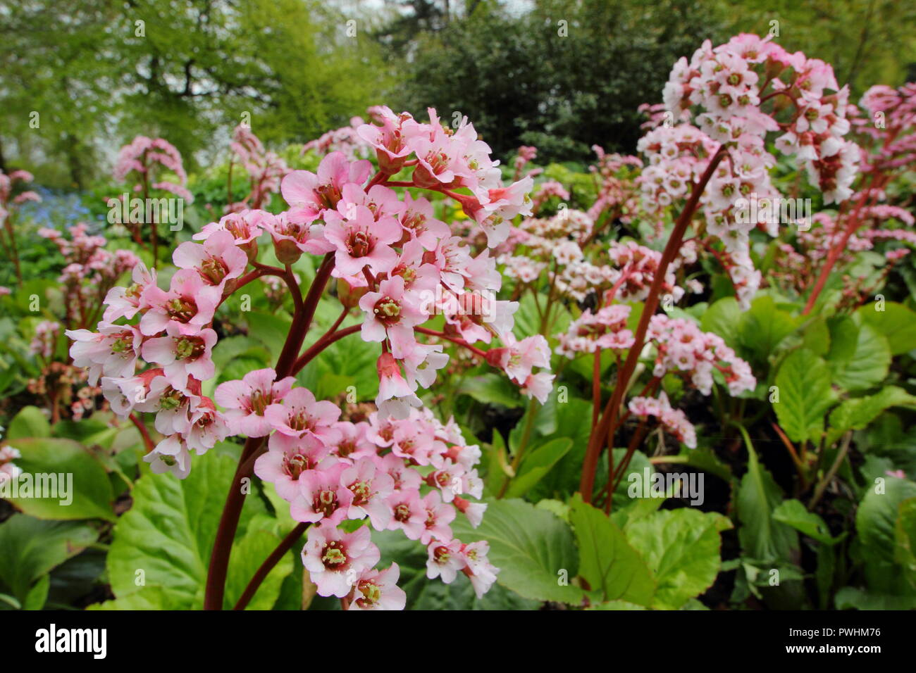 Elephant Ears Plant High Resolution Stock Photography And Images Alamy