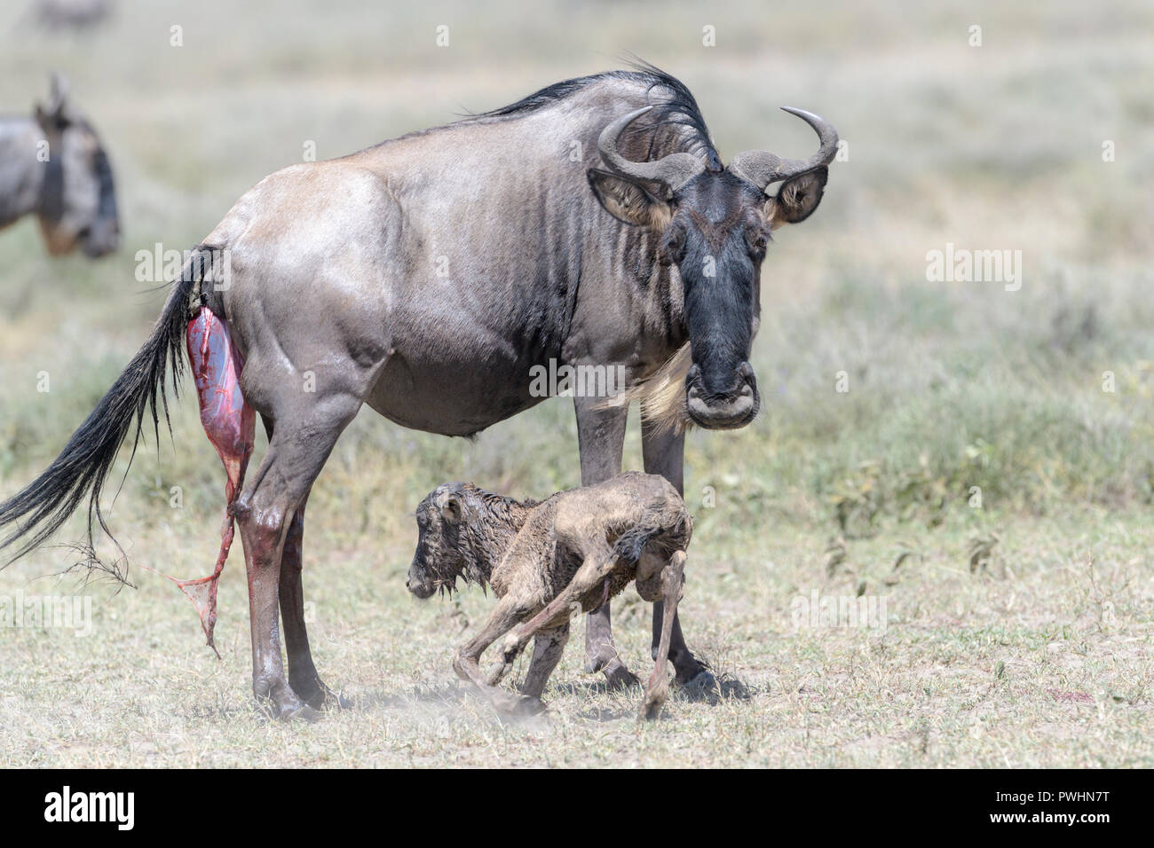 Blue Wildebeest (Connochaetes taurinus) mother with a new born calf trying to stand on savanna, Ngorongoro conservation area, Tanzania. - Stock Image