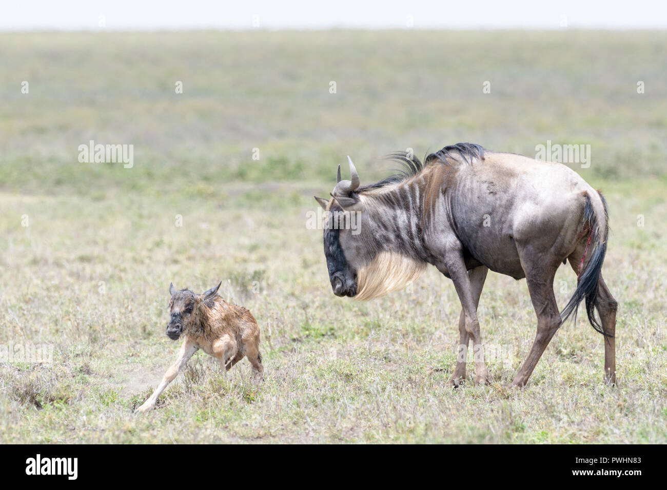 Blue Wildebeest (Connochaetes taurinus) mother with a new born baby trying to stand, Ngorongoro conservation area, Tanzania. - Stock Image