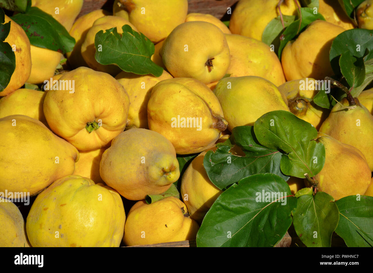 Quinces harvest Cydonia oblonga - Stock Image