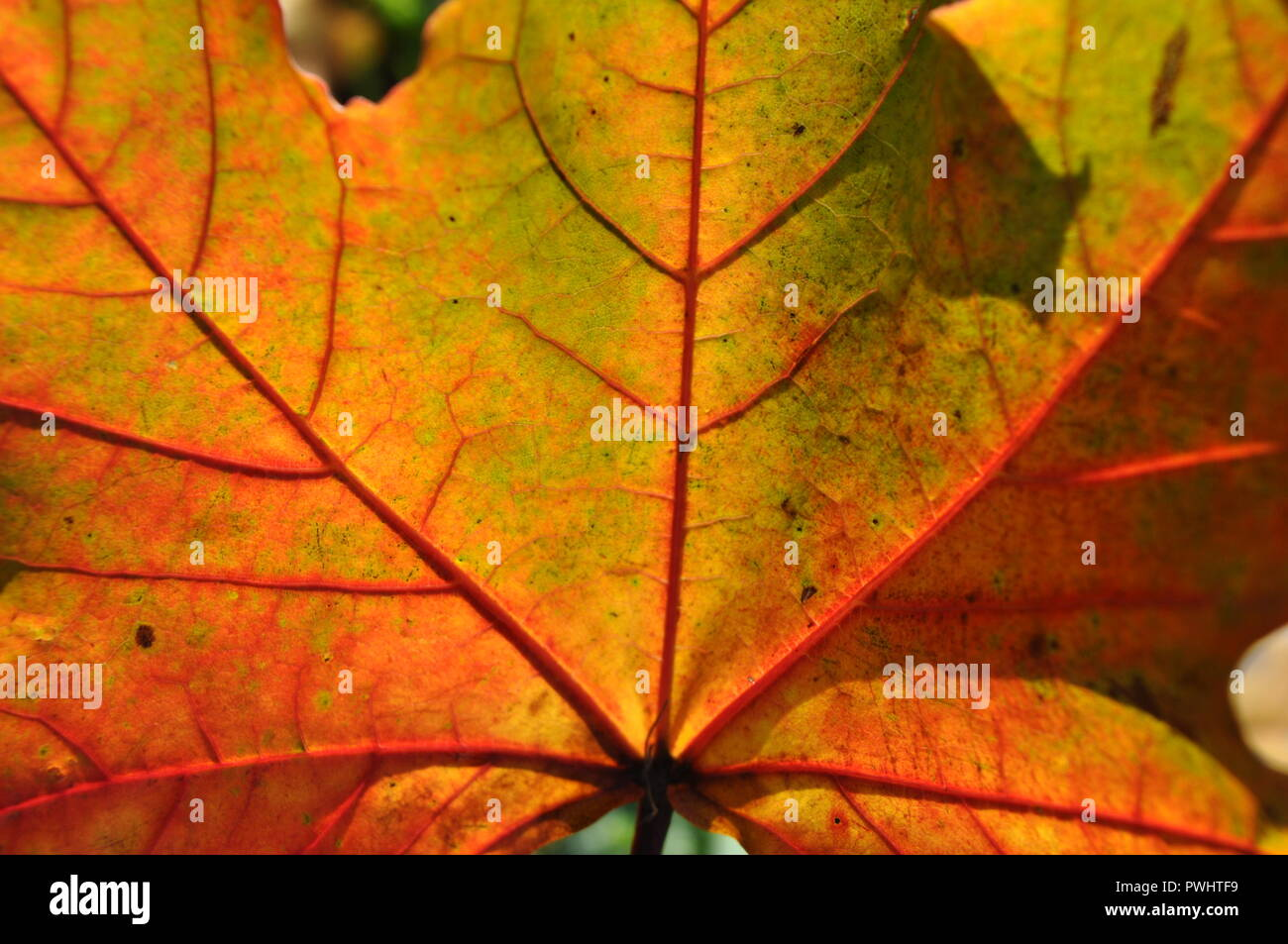 Close Up Of Autumn Leaves Sycamore Maple In Garden Rich Colors Detail Of Veins Sunny Day Stock Photo Alamy