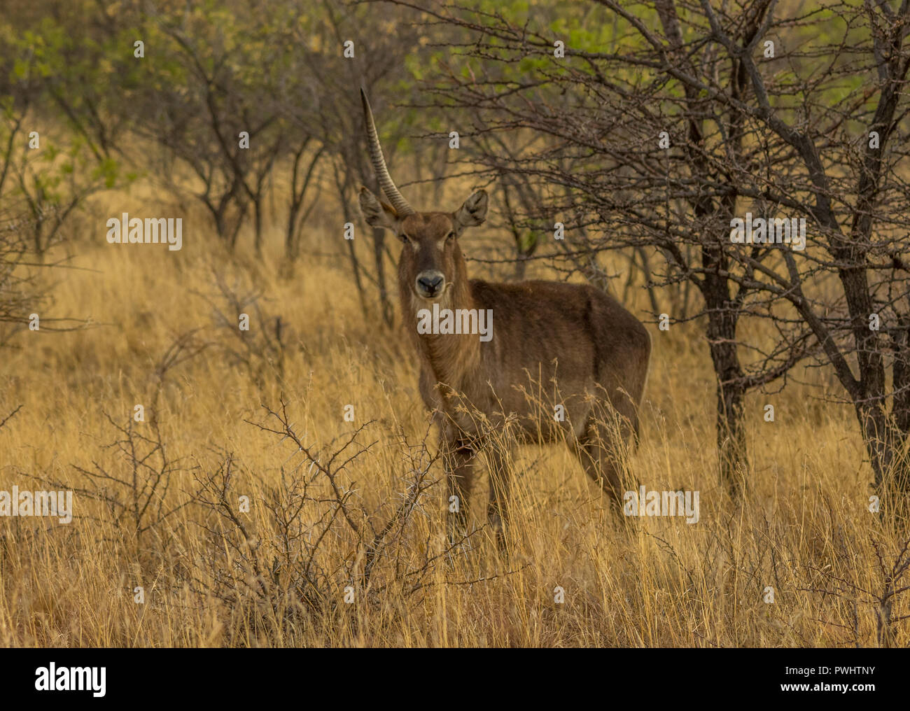A buck with one horn,stands under a tree in the African wilderness image with copy space in landscape format - Stock Image