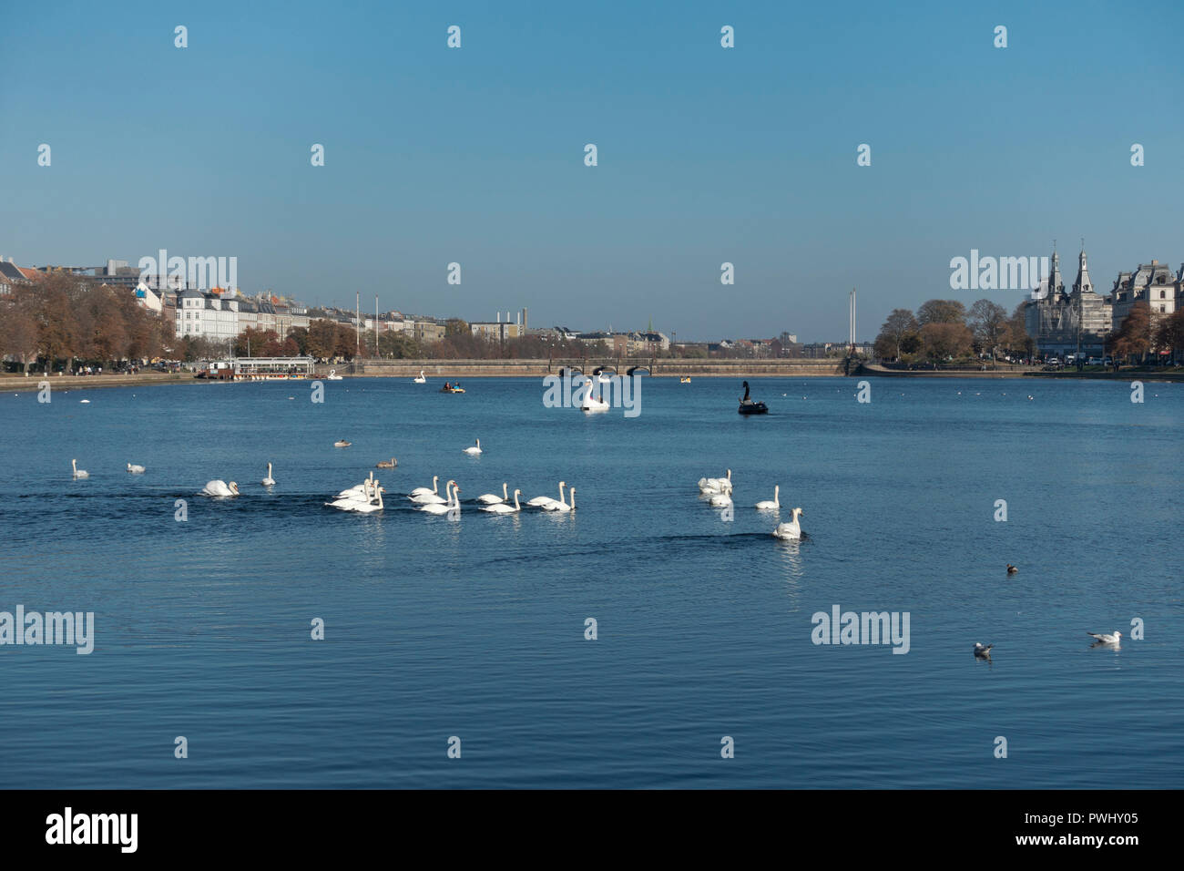 Swans and pedalos designed as swans on the Peblinge Lake in Copenhagen on a sunny and warm late indian summer day. Queen Louise Bridge in distance - Stock Image