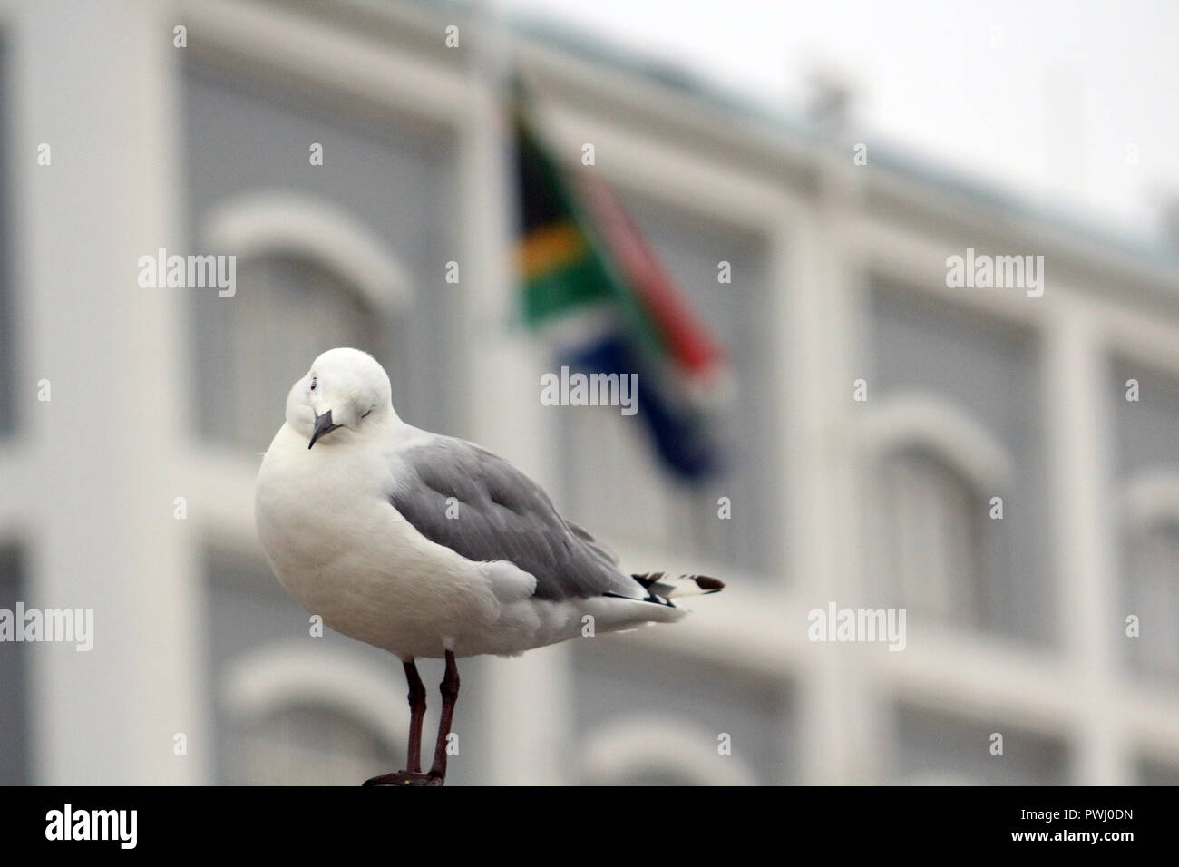 Seagull looking to the camera, taken from Cape Town (South Africa). - Stock Image