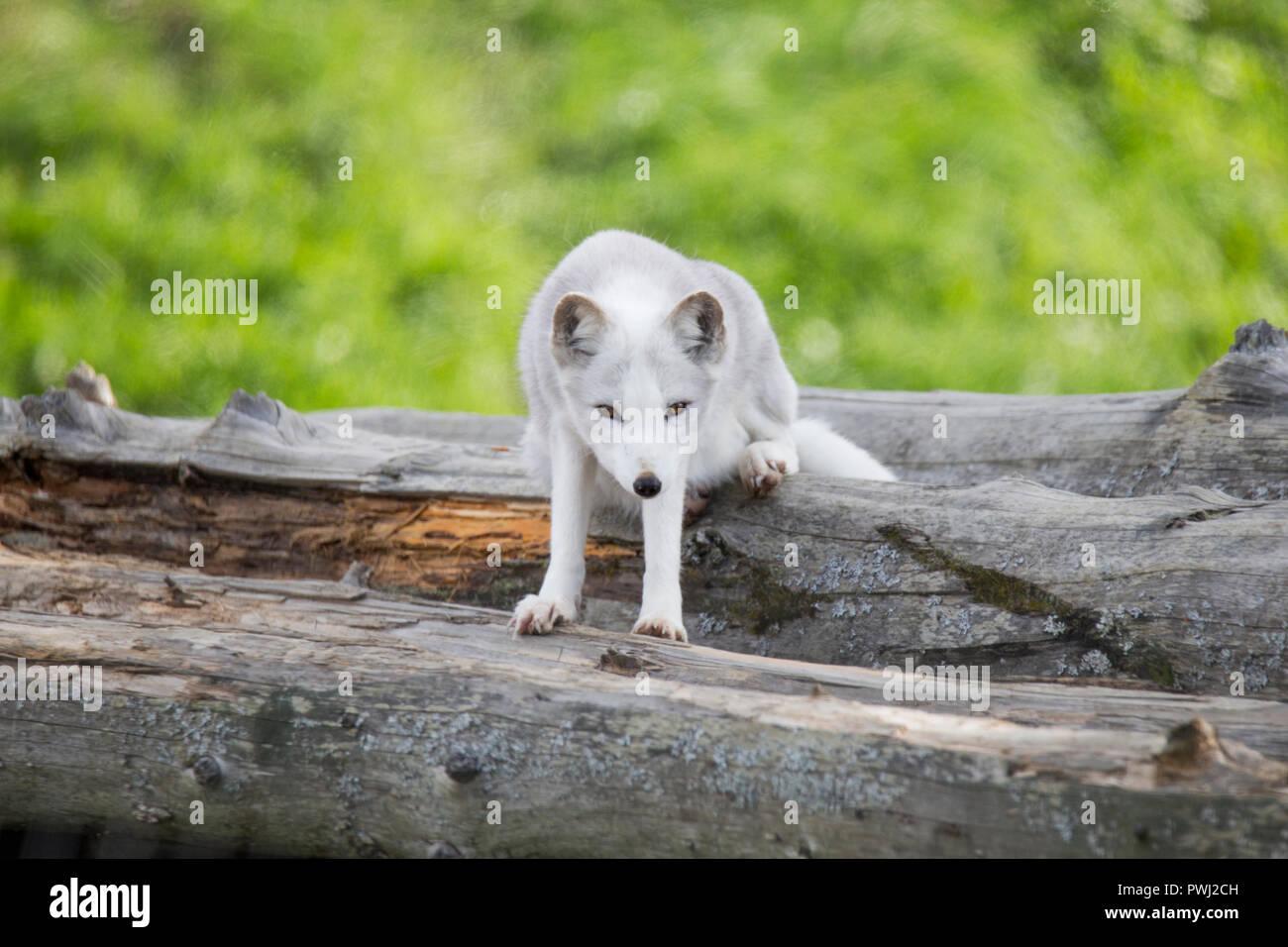 arctic fox in summer - Stock Image