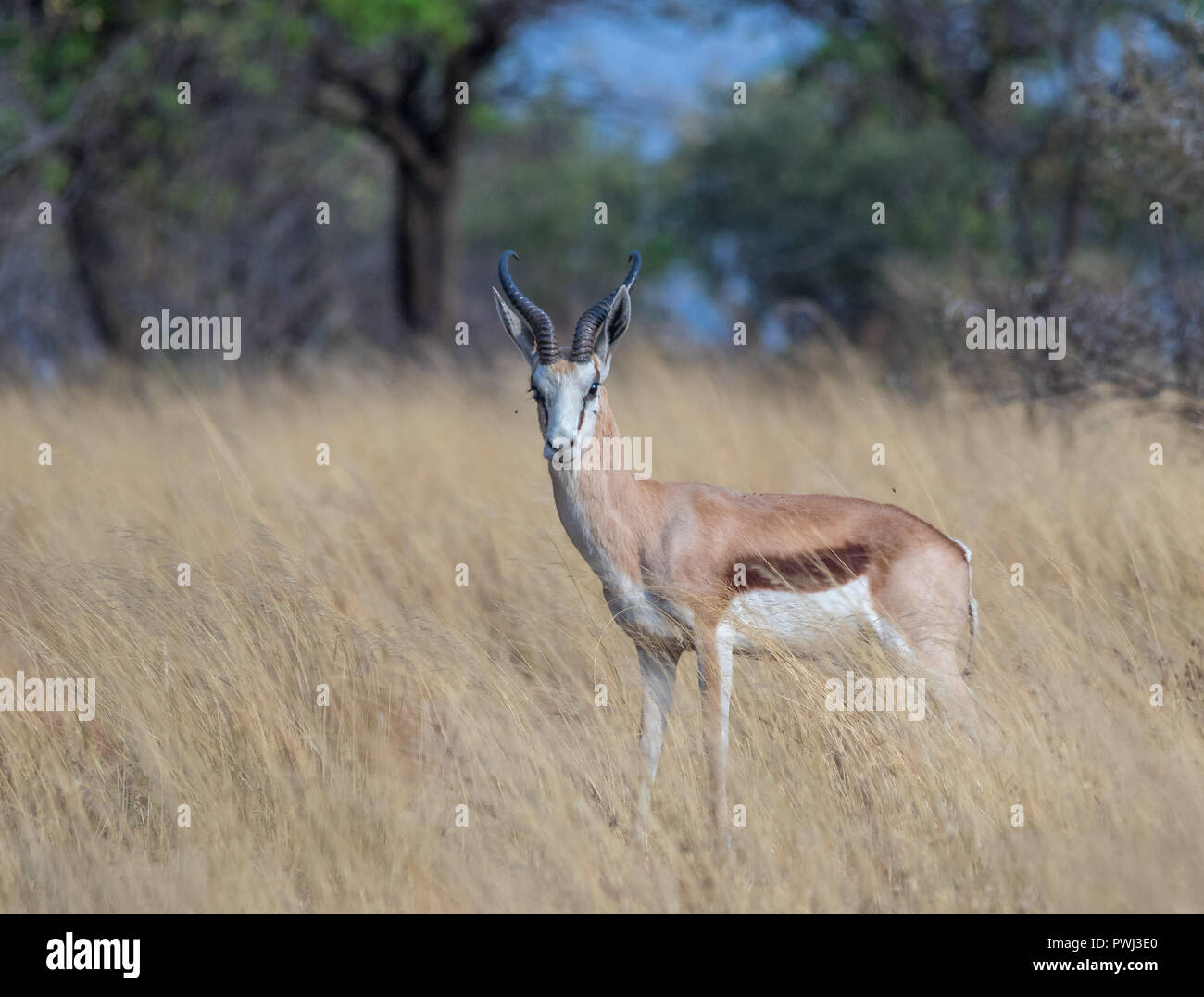 A springbok isolated in the long grass in the African wilderness image with copy space in landscape format - Stock Image