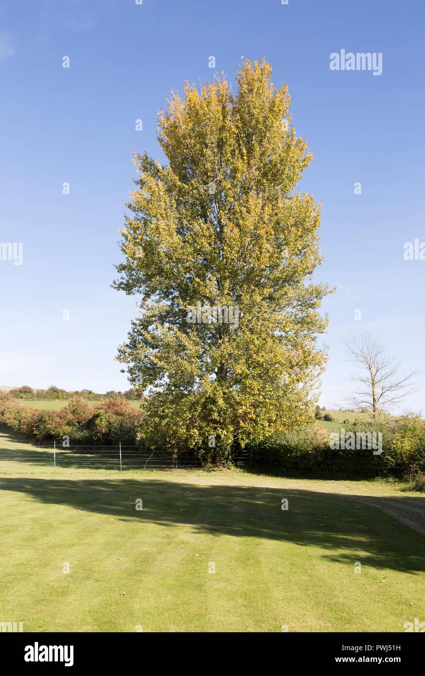 Hybrid Poplar Tree Hybrid Poplar Tree Sto...