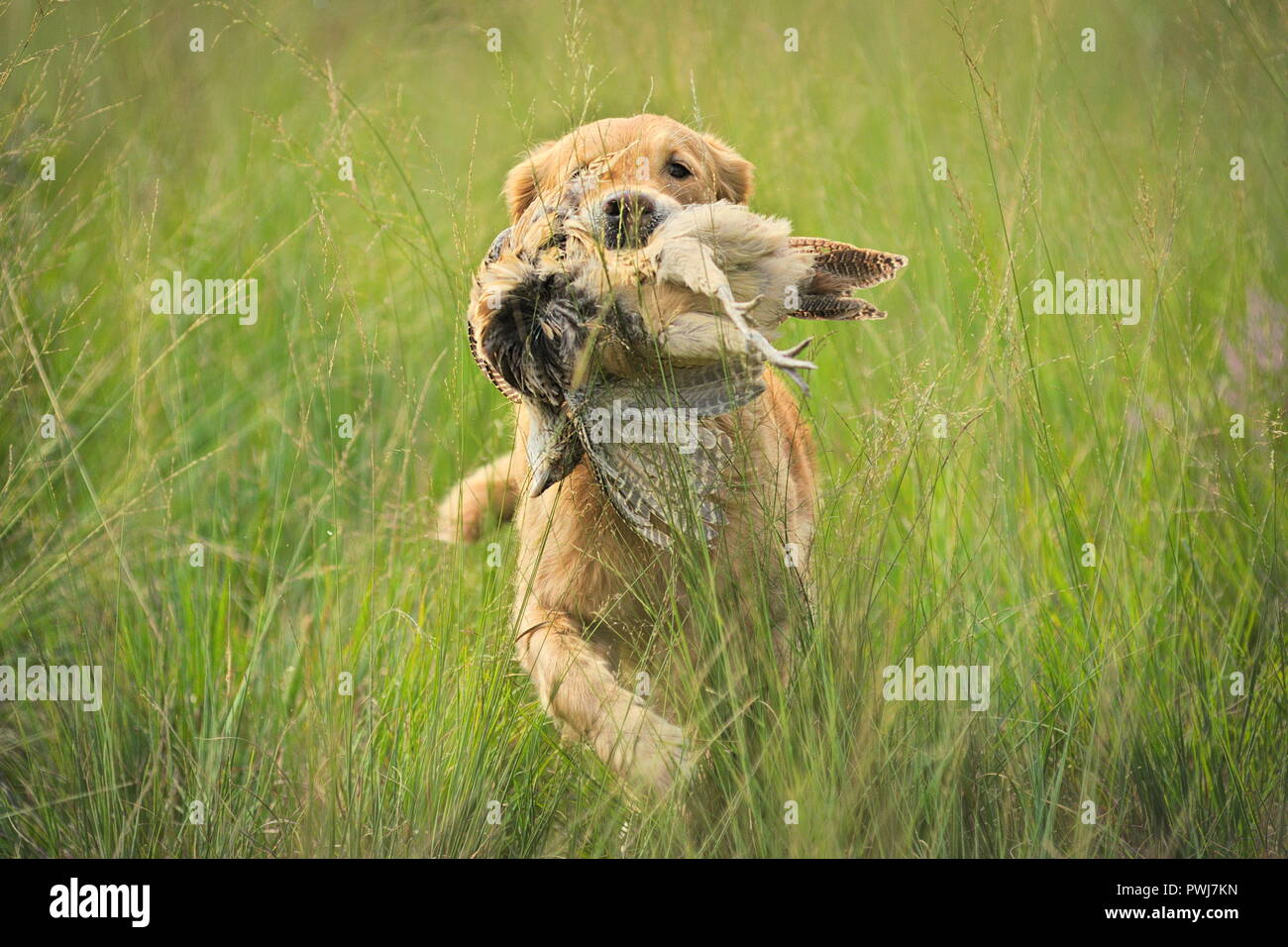 Golden retriever working, retrieving a pheasant to his owner - Stock Image