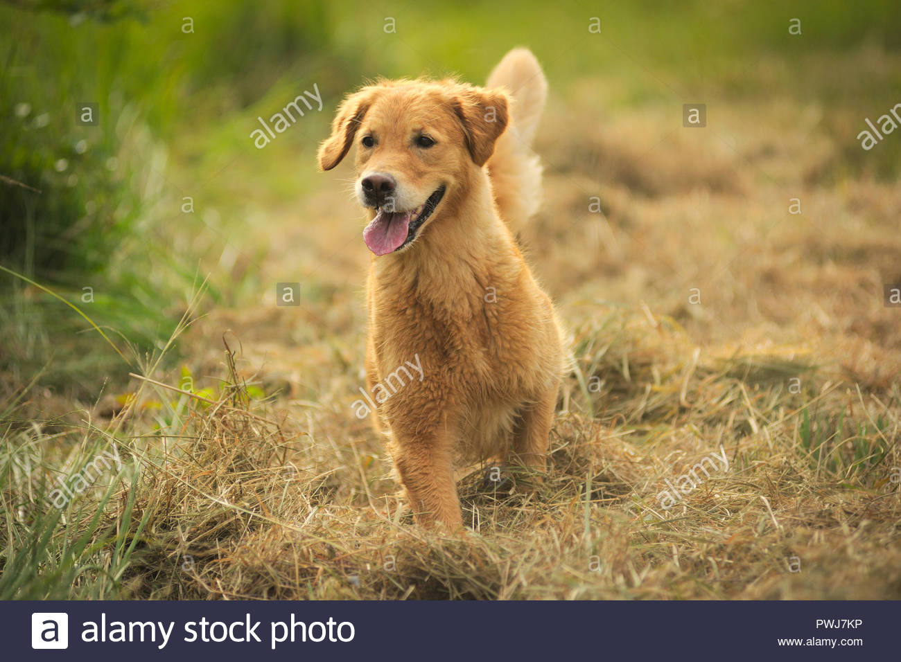 Young Golden Retriever in a country field, happy, tongue out - Stock Image