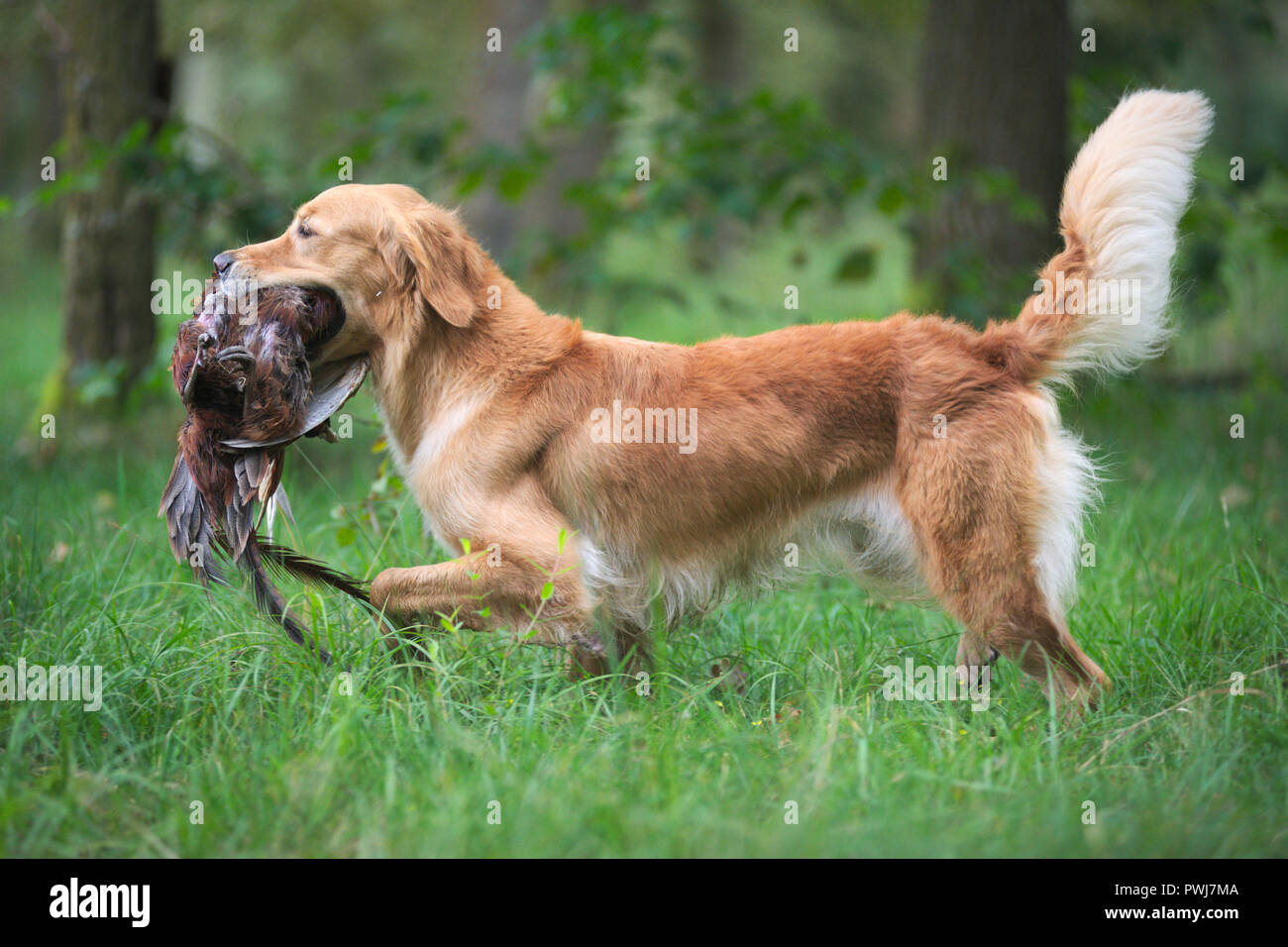 Profile photo of an elegant golden retriever retrieving a pheasant to his owner, tail up - Stock Image