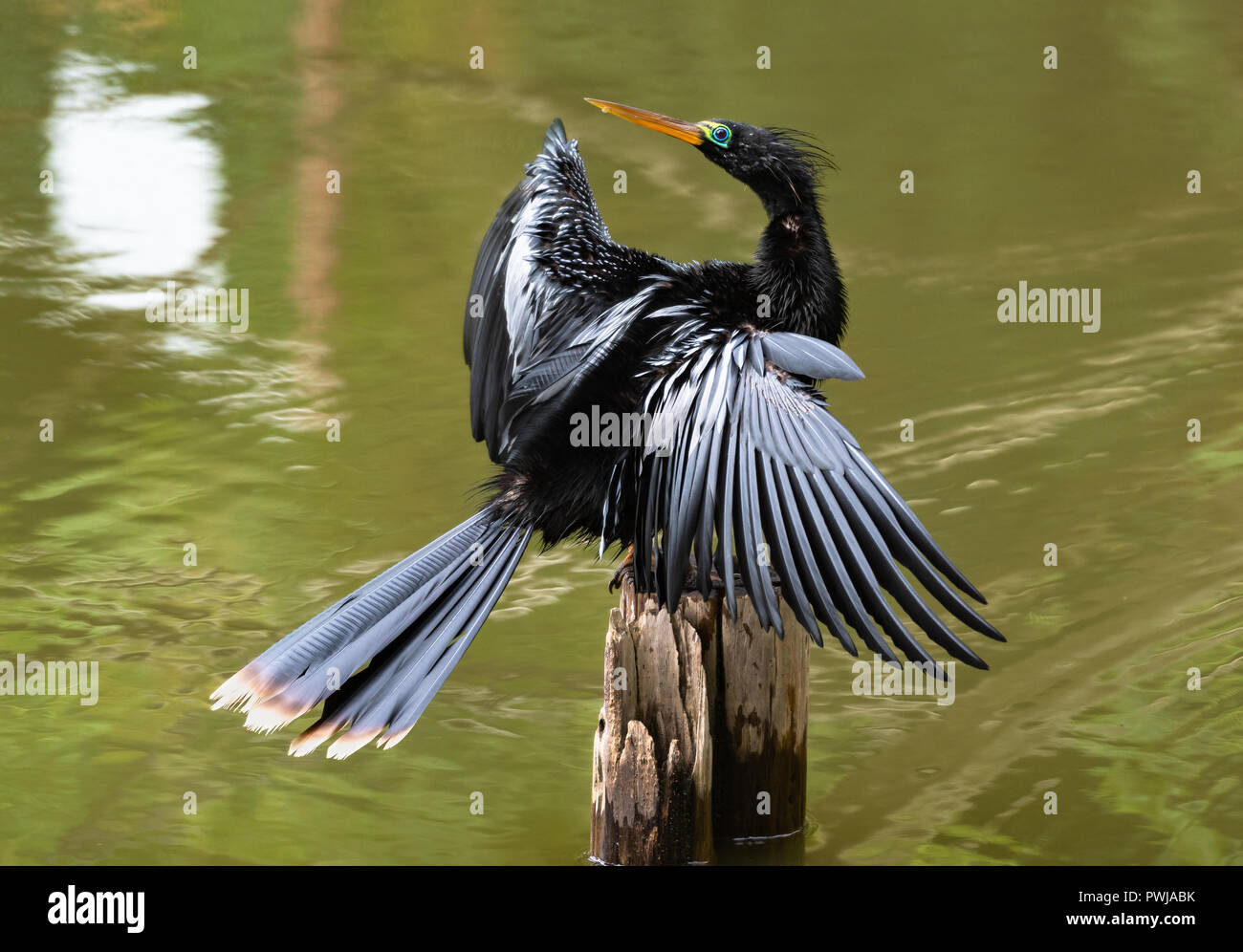 Anhinga dries off after hunting. - Stock Image