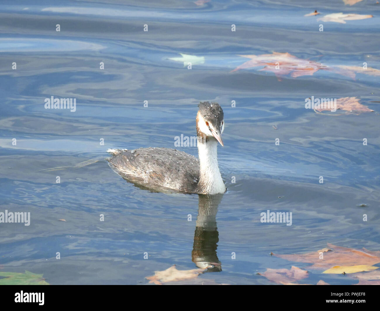 Great crested grebe - Podiceps cristatus - Stock Image