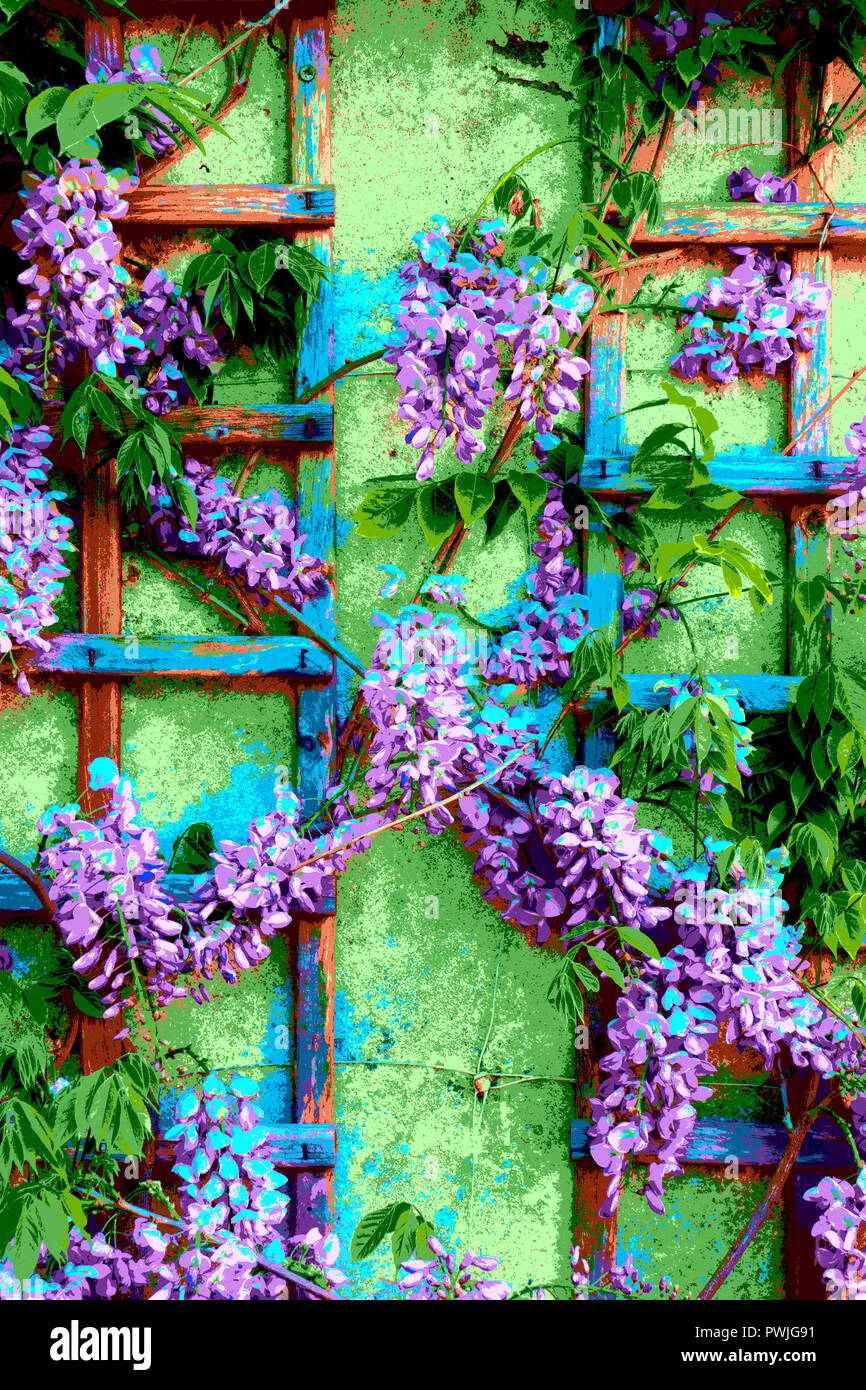 Blooming Wisteria climber on trellis - psychedelic treatment in photo processing - Stock Image