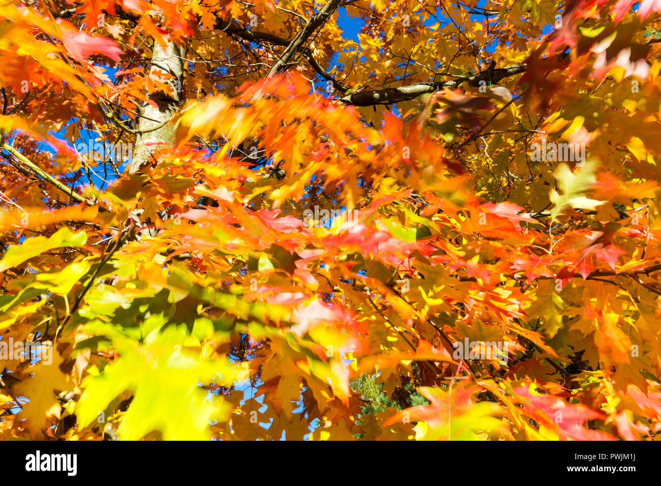 Swept Away Like Autumn Leaves By Gale >> Wind Blown Tree Leaf Stock Photos Wind Blown Tree Leaf Stock