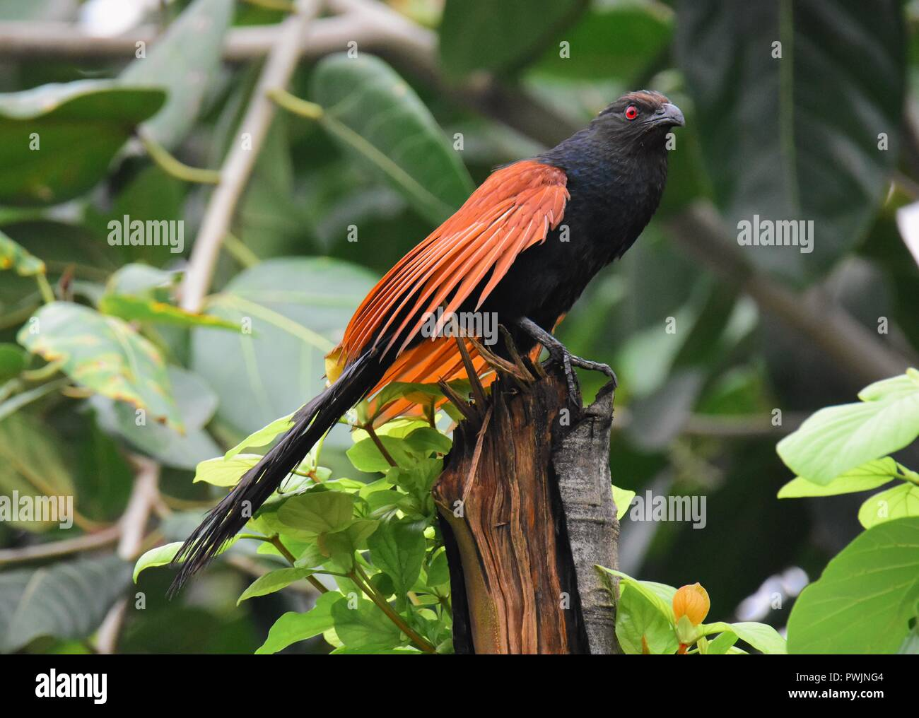 Greater Coucal on tree branch - Stock Image