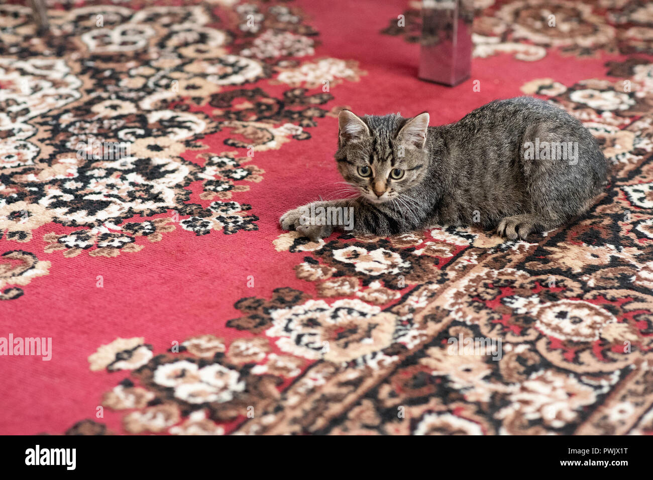Gray kitty caught a little gray mouse, at home on the carpet - Stock Image
