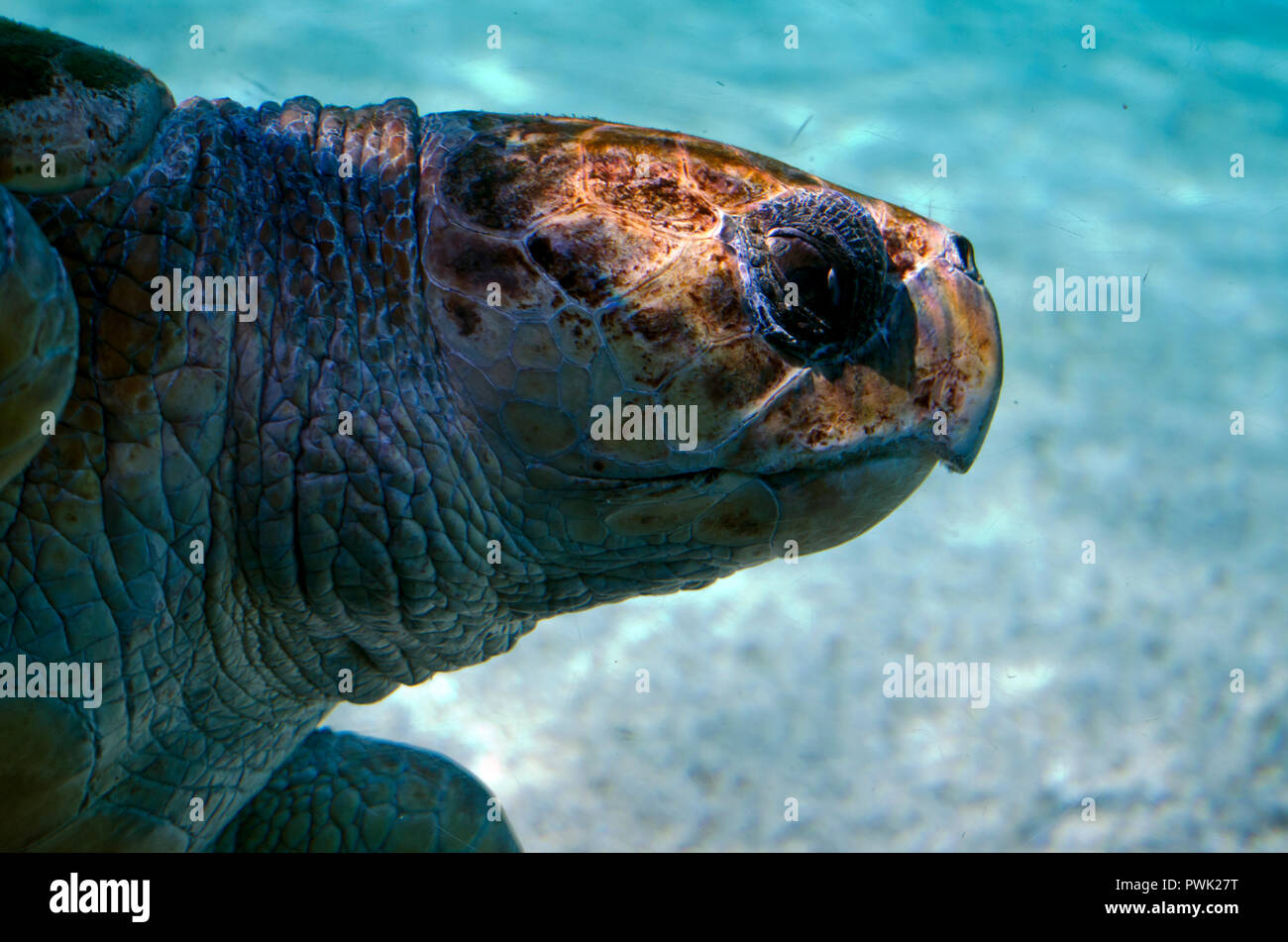 this is a side view of a giant sea turtles swimming stock