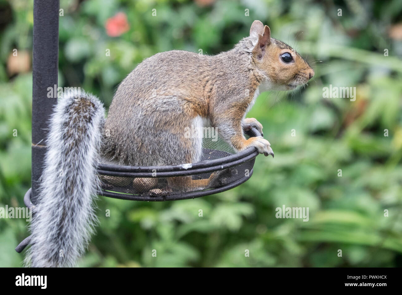 Squirrel eating nuts - Stock Image