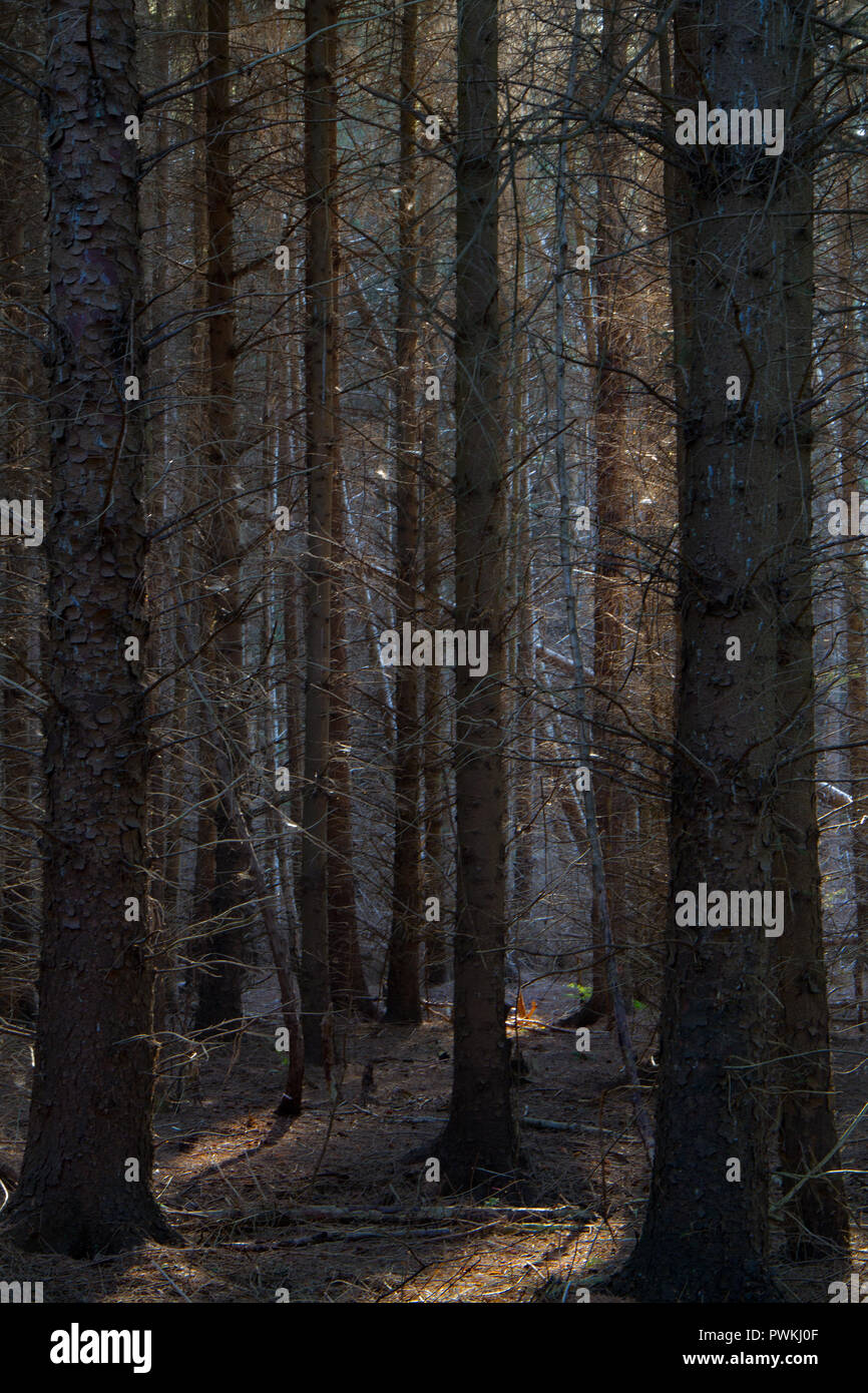 View into a dull and dark pine plantation, light on tree stems in the distance and some light spots on the ground - Stock Image
