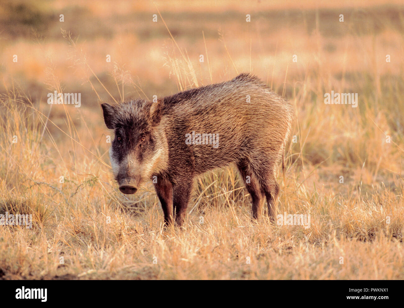 male Indian Wild Boar, Sus scrofa cristatus, in grasslands, Velavadar National Park, Gujarat, India Stock Photo