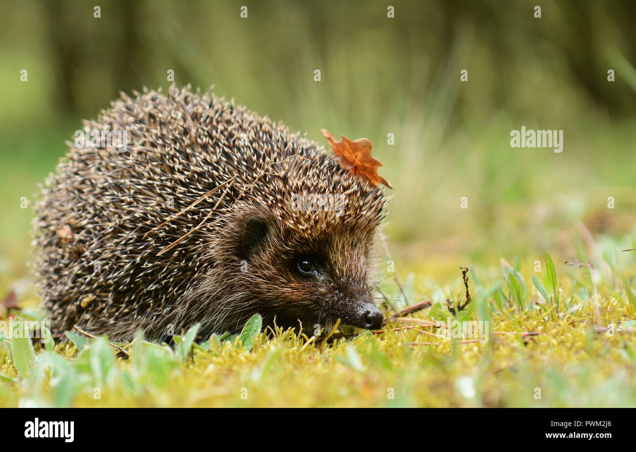 Young hedgehog in the forest - Stock Image