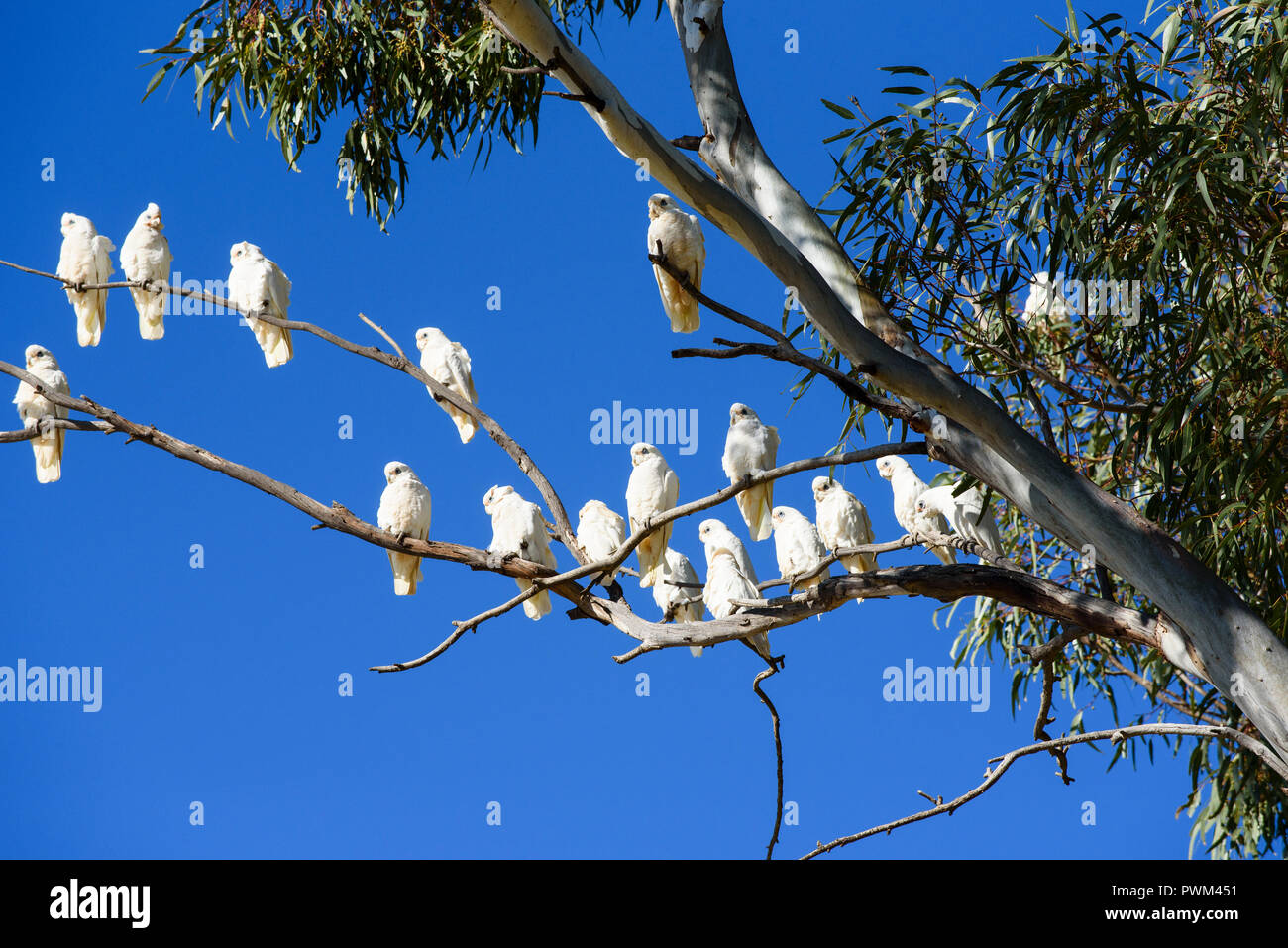 Flock of white birds, corellas, in gum tree with blue sky background, South Australia, Australia - Stock Image