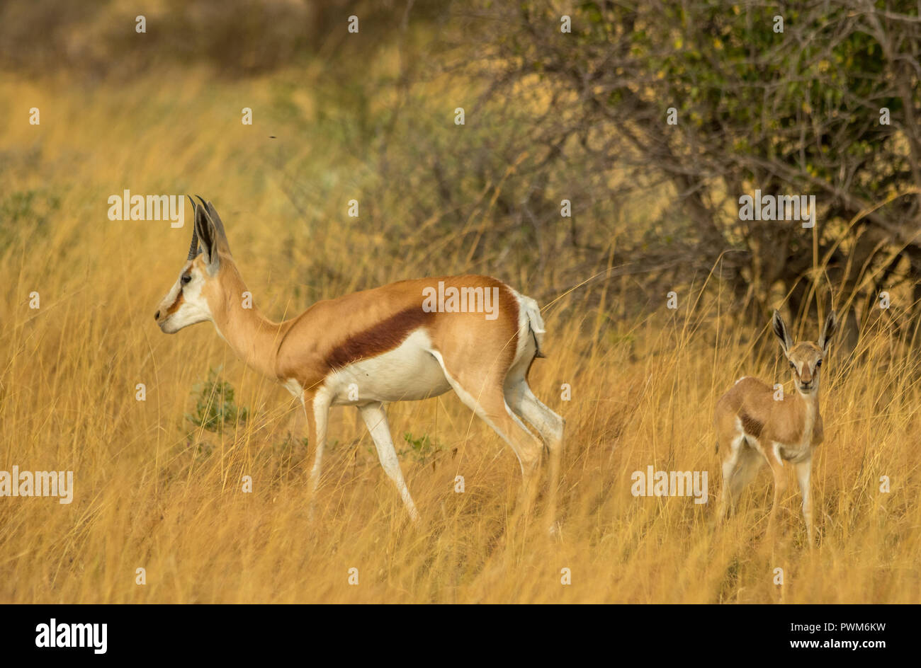 A springbok ewe and calf walk in the tall grass in the African wilderness image with copy space in landscape format - Stock Image