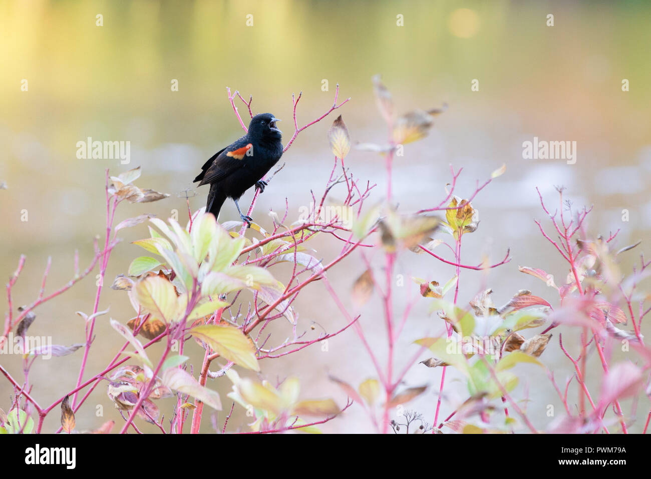 Red wing blackbird (agelaius phoeniceus) singing on a tree branch during autumn season. Lake in the background. - Stock Image