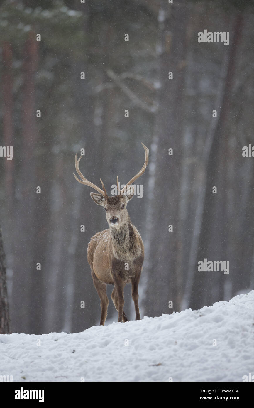 Red deer stag (Cervus elaphus) in a Scottish woodland in the snow, during winter. Stock Photo