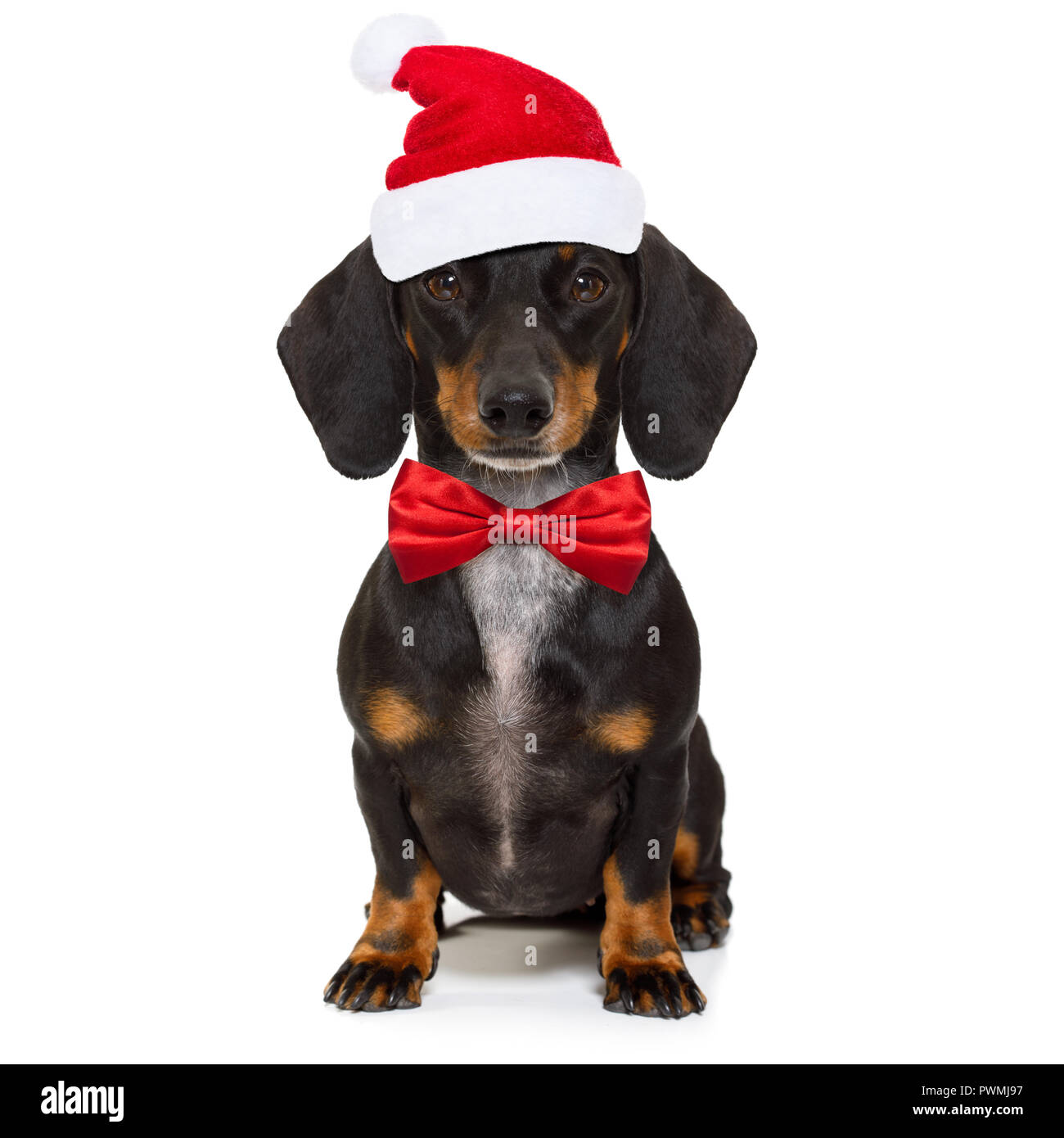 Funny Dachshund Sausage Santa Claus Dog On Christmas Season Holidays Wearing Red Holiday Hat Isolated On White Background Stock Photo Alamy