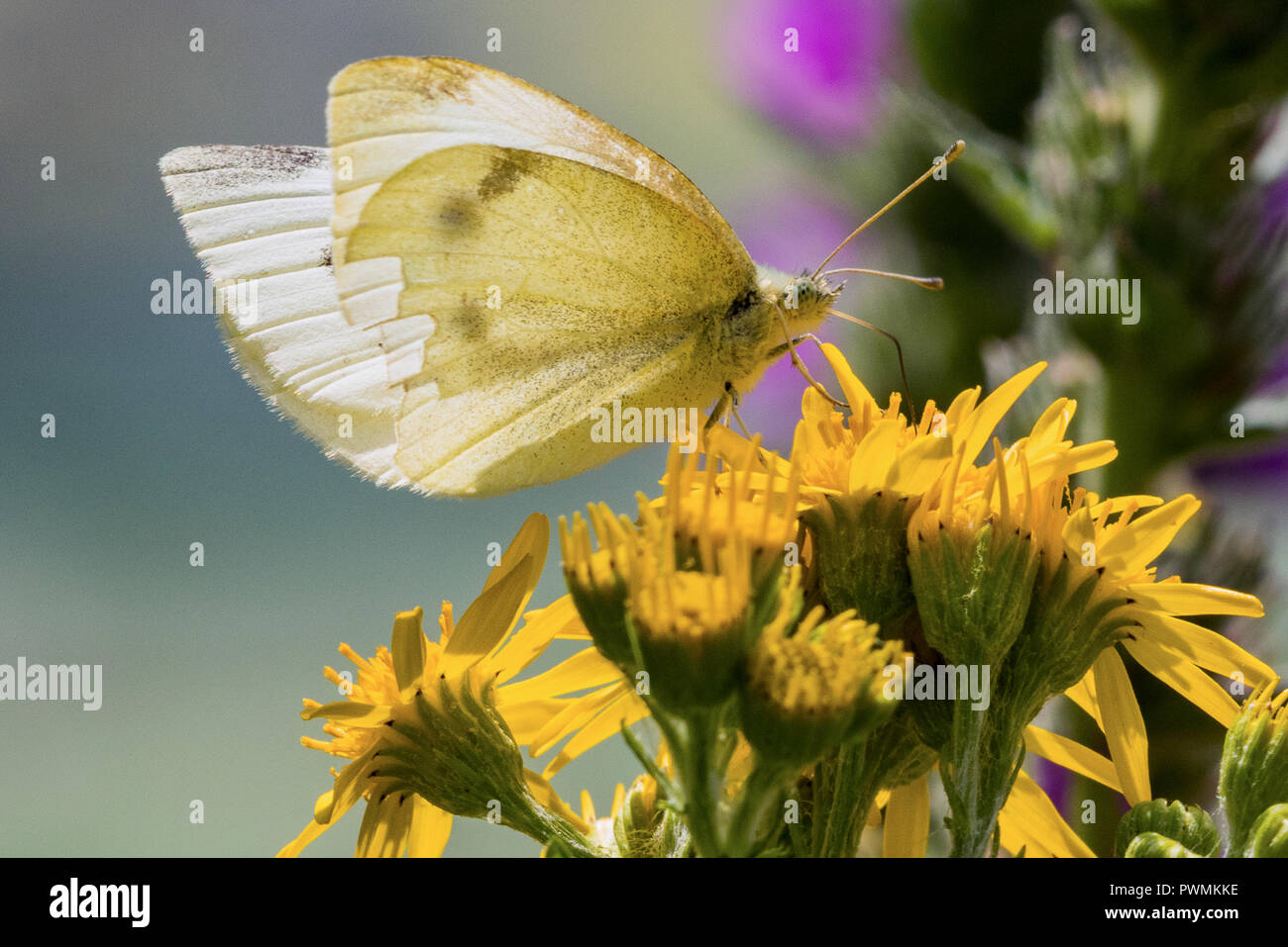 Close up of a Cabbage White Butterfly on yellow flowers with a blurred background - Stock Image