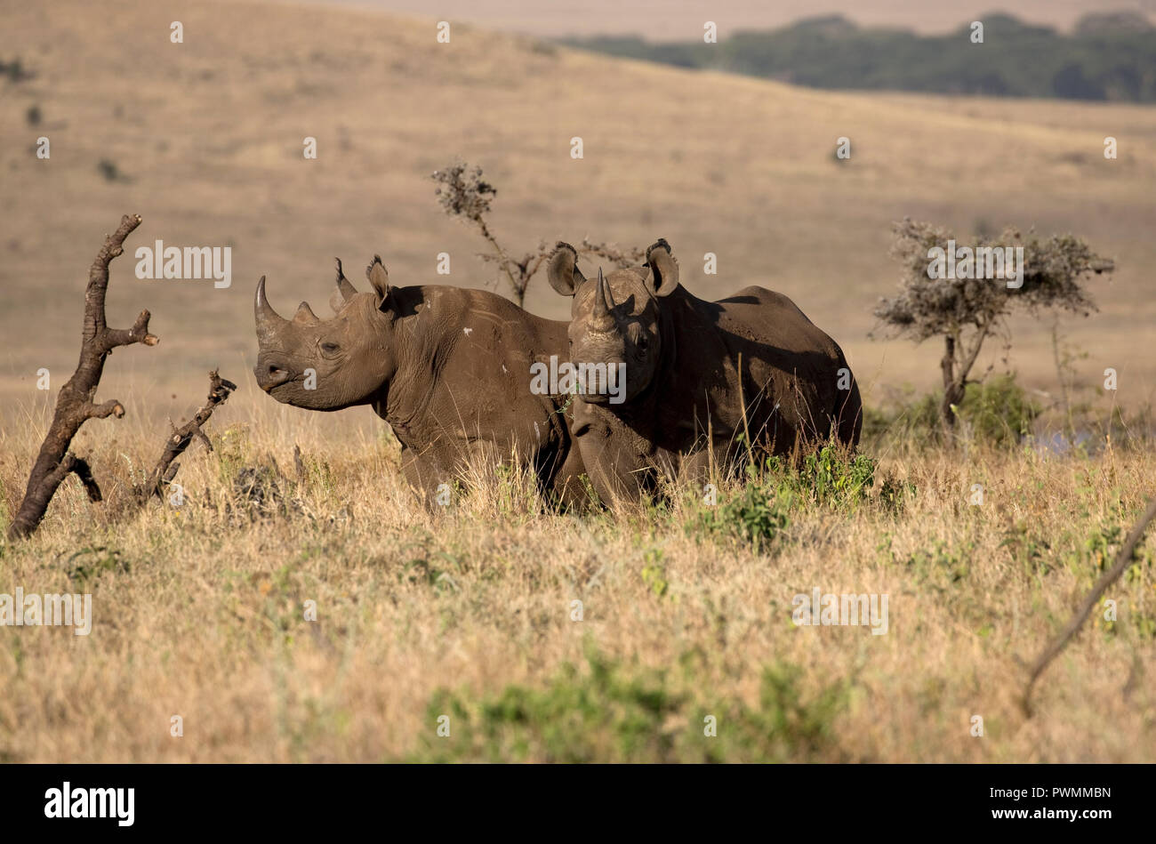 Two Black rhino Diceros bicornis at Lewa Wildlife Conservancy Kenya a vitally important conservation area which has built up the critically endangered - Stock Image