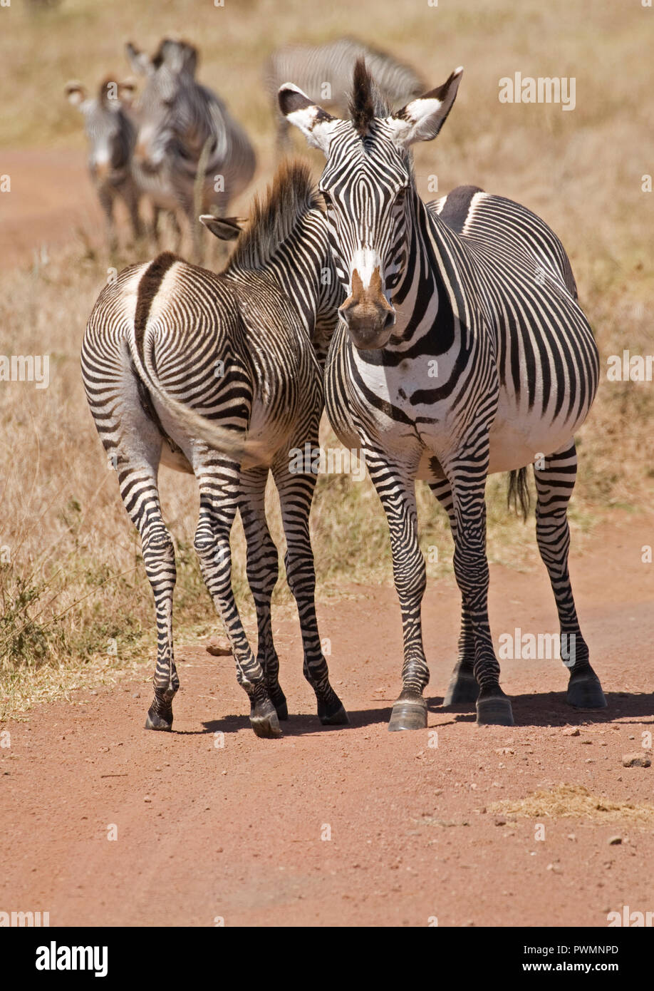Grevy's zebra Equus grevyi mare and foal now on IUCN Endangered List Lewa Wildlife Conservancy Kenya Stock Photo