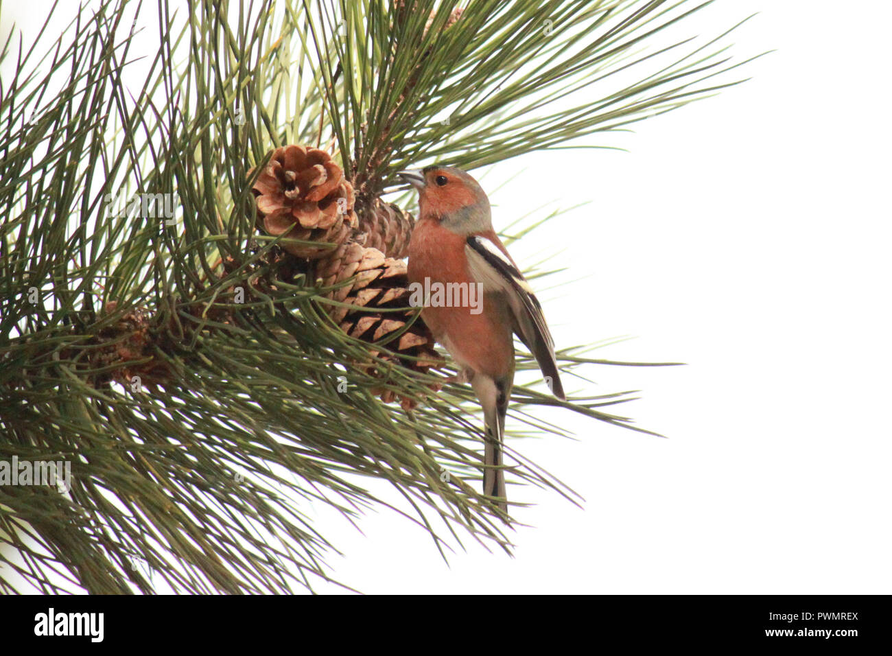 Chaffinch perched on pine cones on a pine tree. Fringilla coelebs. - Stock Image