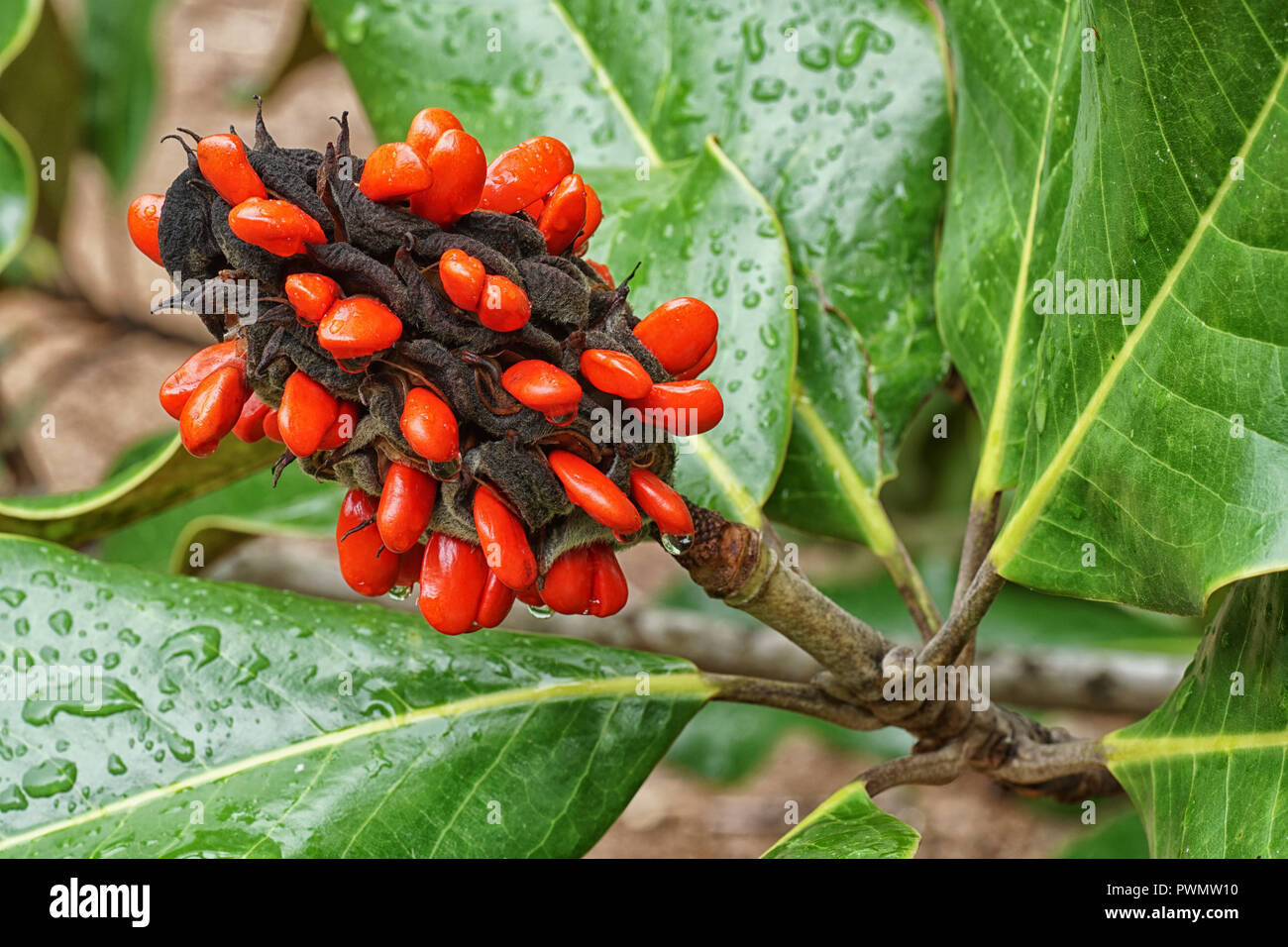 Red Seed Of A Magnolia Tree Seed Pod Stock Photo 222349484 Alamy