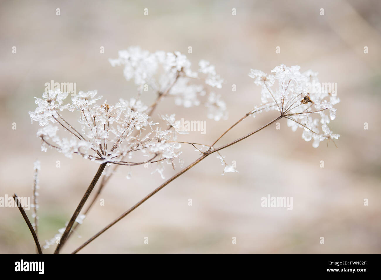 Beautiful winter white flowers stock photos beautiful winter white queen annes lace flowers covered in beautiful white icy frost on a winter day izmirmasajfo