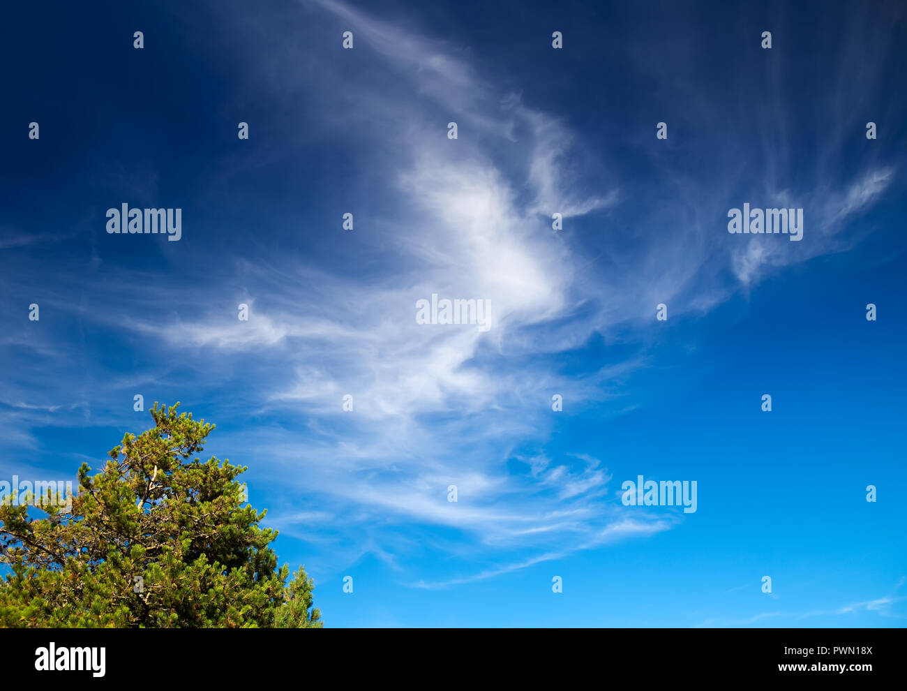 blue sky in summer with a coniferous tree - Stock Image