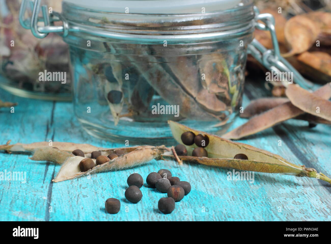 Lathyrus odoratus.  Dried sweet pea seedheads stored in air tight glass jar ready for future planting, UK - Stock Image