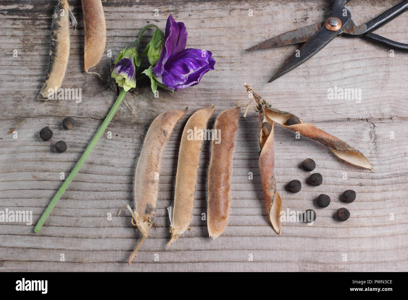 Lathyrus odoratus. Fading sweet pea blooms, dried sweet pea pods and sees ready to be saved for future planting, early autumn, UK - Stock Image