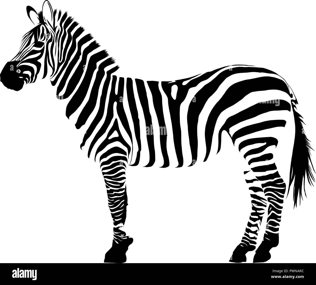 illustration white and black animal zebra vectorin white background - Stock Vector