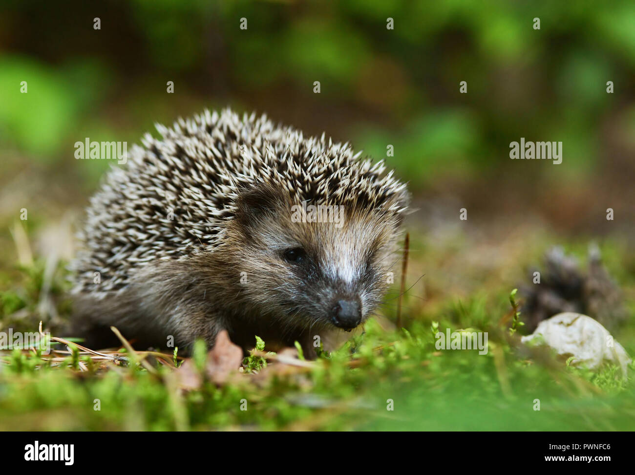 Young hedgehog - Stock Image