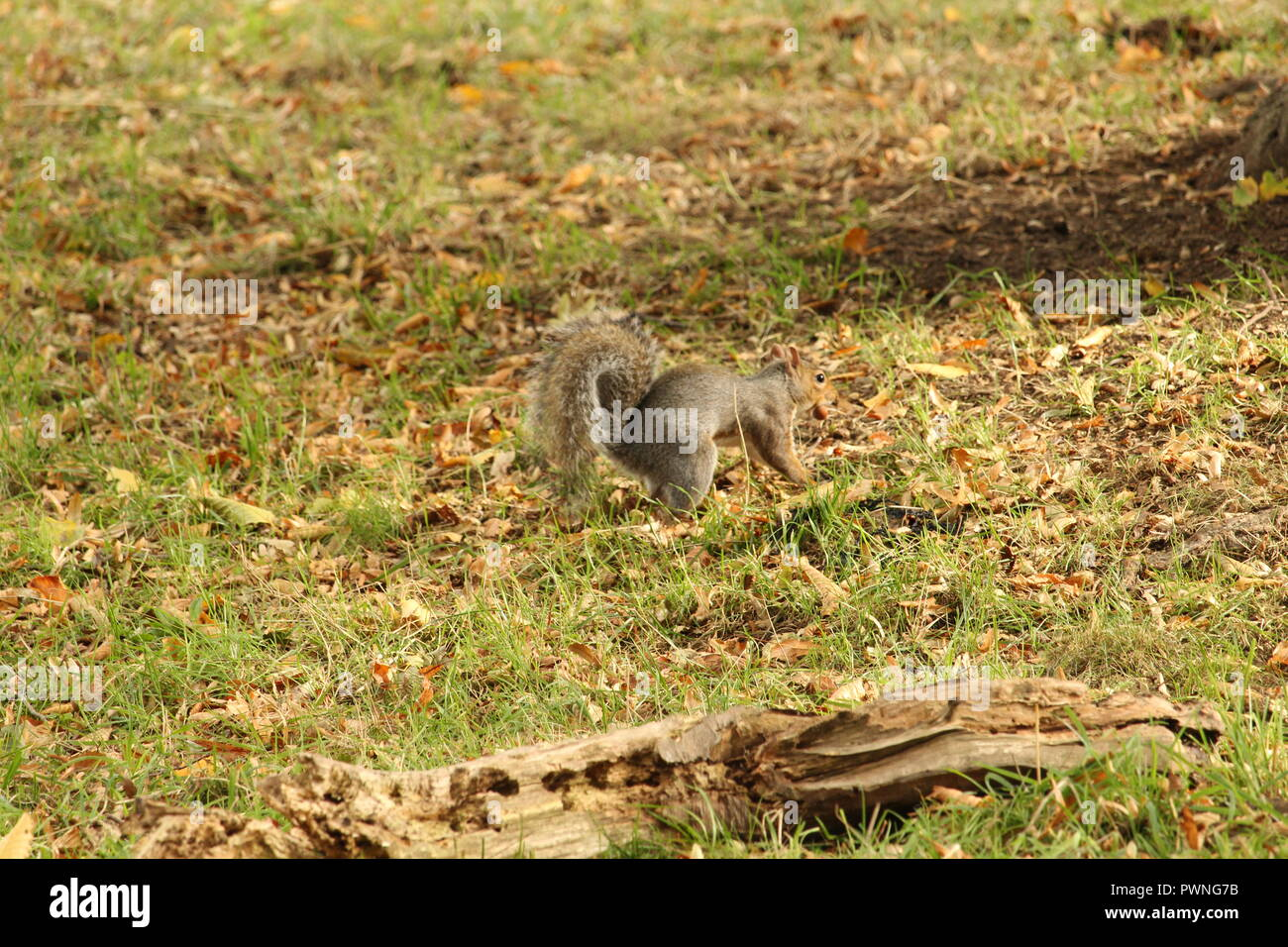 Autumnal Scene's - A lone British squirrel with an acorn in his mouth  making his way among Autumn leaves. - Stock Image