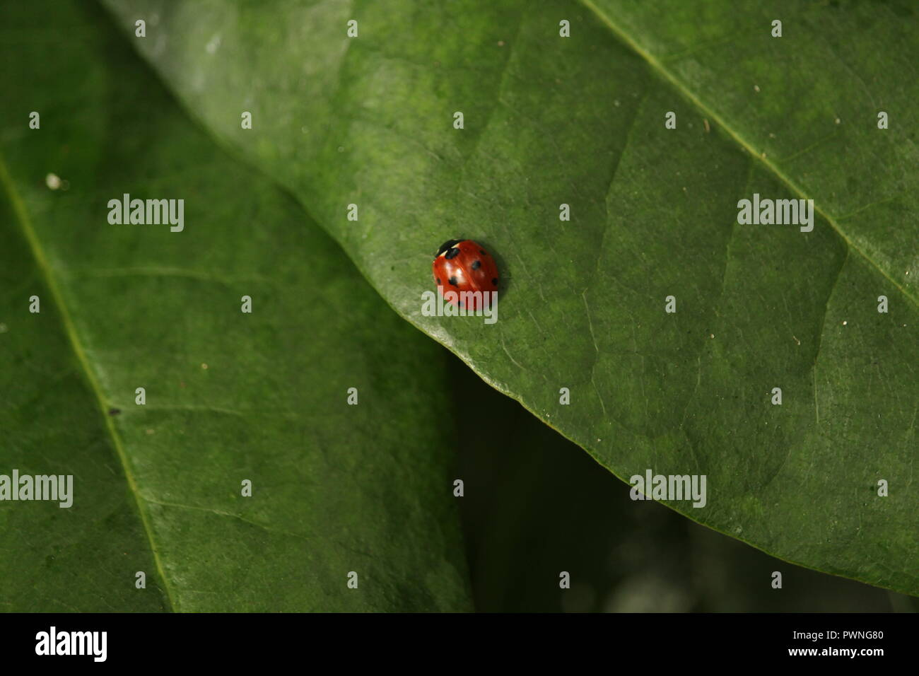 Autumn scenes - a seven-spotted ladybird on the glossy leaf of a garden shrub. Rocio de Marigny / Alamy - Stock Image